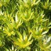 Leucadendron Floridum
