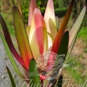 Leucadendron Safari Sunset Tricolour