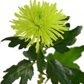 Anatasia Dark Lime