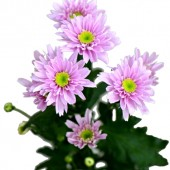 Monalisa Dark Pink