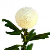 Ping Pong White