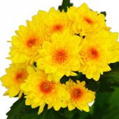 Chrysanthemum Stanza