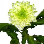 Zembia Lime