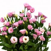 Robella Pink
