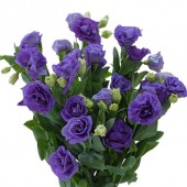 Rosina III Blue