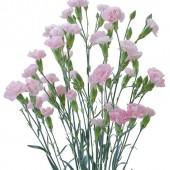 Light Pink Barbara
